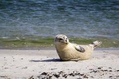 Общее уплотнение отдыхая на пляже - vitulina настоящего тюленя Стоковое Изображение