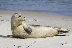 Общее уплотнение отдыхая на пляже - vitulina настоящего тюленя Стоковая Фотография