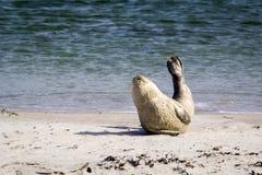 Общее уплотнение отдыхая на пляже - vitulina настоящего тюленя Стоковая Фотография RF