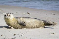Общее уплотнение отдыхая на пляже - vitulina настоящего тюленя Стоковое Фото