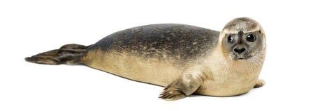 Общее уплотнение лежа, изолированное vitulina настоящего тюленя, 8 месяцев старых, Стоковое Фото