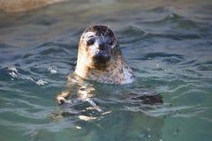 Общее уплотнение, vitulina настоящего тюленя, в воде Стоковые Фото