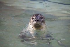 Общее уплотнение, vitulina настоящего тюленя, от воды наблюдая рядом Стоковые Изображения RF