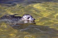 Общее уплотнение, vitulina настоящего тюленя, плавая в чистой воде Стоковые Изображения RF