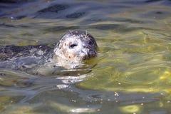 Общее уплотнение, vitulina настоящего тюленя, плавая в чистой воде Стоковые Фото