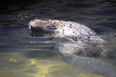 Общее уплотнение, vitulina настоящего тюленя, часто плавает живот вверх Стоковые Фото