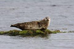 Общее уплотнение, vitulina настоящего тюленя Стоковые Фотографии RF