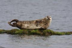 Общее уплотнение, vitulina настоящего тюленя Стоковая Фотография RF
