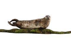 Общее уплотнение, vitulina настоящего тюленя Стоковые Изображения