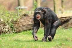 общее шимпанзеа стоковые изображения rf