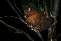 Общее Щетк-замкнуло опоссума - vulpecula Trichosurus - ночного, полу-arboreal сумчатки Австралии, введенной к Новой Зеландии стоковые фото