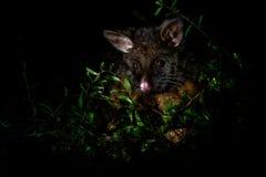 Общее Щетк-замкнуло опоссума - vulpecula Trichosurus - ночного, полу-arboreal сумчатки Австралии, введенной к Новой Зеландии стоковая фотография rf