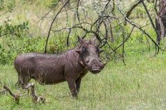 Общее africanus Phacochoerus Warthog Стоковое Фото