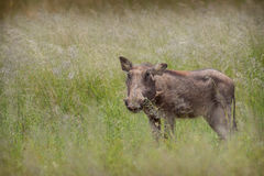 Общее africanus Phacochoerus Warthog Стоковые Фото