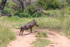 Общее africanus Phacochoerus Warthog Стоковая Фотография RF