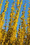 общее blos цветет желтый цвет весны forsythia Стоковое Фото
