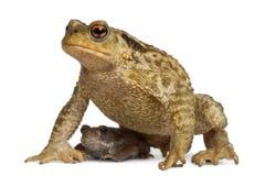 общее bufo младенца ее жаба мати Стоковое Изображение