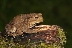 Общее bufo bufo жабы Стоковые Изображения RF
