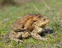 Общее bufo bufo жабы Стоковая Фотография