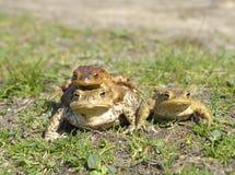 Общее bufo bufo жабы Стоковое Изображение