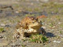 Общее bufo bufo жабы Стоковые Фотографии RF