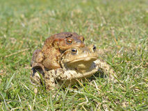 Общее bufo bufo жабы Стоковое фото RF