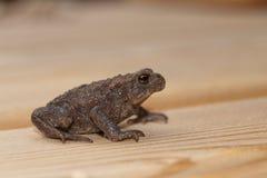 Общее bufo bufo жабы Стоковое Фото