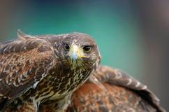 общее buzzard Стоковое фото RF