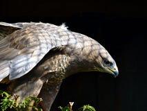 общее buzzard Стоковые Фотографии RF