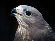 общее buzzard Стоковое Фото