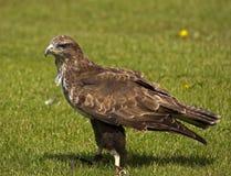 общее buzzard Стоковая Фотография