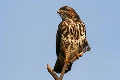 общее buzzard Стоковые Изображения
