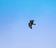 общее buzzard 2 Стоковые Изображения RF