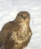 общее buzzard buteo Стоковые Фото