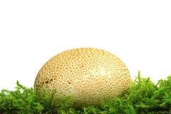 Общее citrinum склеродермии earthball Стоковые Фотографии RF