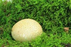 Общее citrinum склеродермии earthball Стоковые Изображения