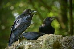 Общее corax Corvus ворона, также известное как северный ворон, Стоковые Изображения