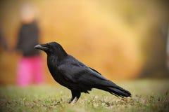 Общее corax Corvus ворона, также известное как северный ворон, Стоковые Изображения RF