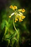 Общее Cowslip (veris Primula) Стоковые Фотографии RF