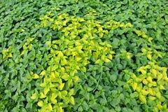 Общее dioica Urtica крапивы Стоковые Изображения RF