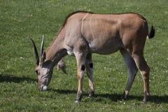 общее eland Стоковые Изображения RF