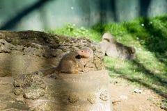 Общее parvula Helogale мангусты карлика Стоковые Фотографии RF