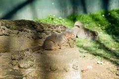 Общее parvula Helogale мангусты карлика Стоковая Фотография RF