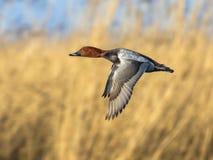 Общее porchard летая Стоковая Фотография