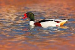 Общее Shelduck, tadorna Tadorna, shelduck вида водоплавающей птицы, в уровне среды обитания природы, голубых и коричневых осени в Стоковое фото RF