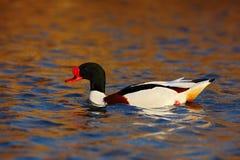 Общее Shelduck, tadorna Tadorna, shelduck вида водоплавающей птицы, в уровне среды обитания природы, голубых и коричневых осени в Стоковые Фотографии RF