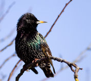 общее starling sternus vulgaris Стоковая Фотография