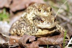 Общее szara жабы/Ropucha стоковые изображения