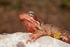 общее temporaria Раны лягушки стоковые изображения
