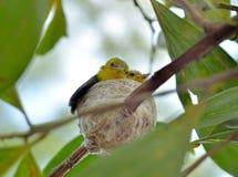 Общее tiphia Iora Aegithina подавая свои маленькие птицы в природе Стоковые Фотографии RF